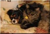 Cavalier King Charles Spaniel and Maine Coon Cat